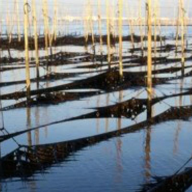 東京湾の干潟が作る最高の味~船橋三番瀬海苔(千葉県船橋市)