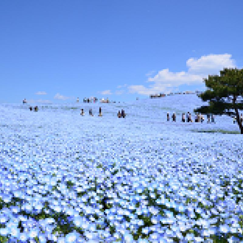 春の国営ひたち海浜公園(ネモフィラ編)