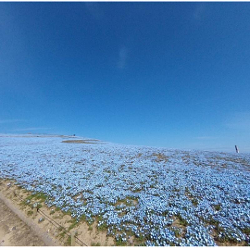 国営ひたち海浜公園がネモフィラ「360度バーチャルツアー」を実施